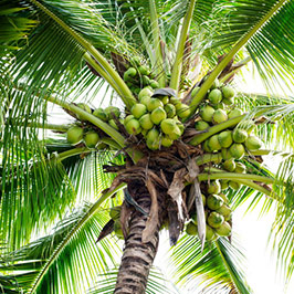 The World Leaders in Coconut Production